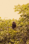 Monkey in tree, Costa Rica